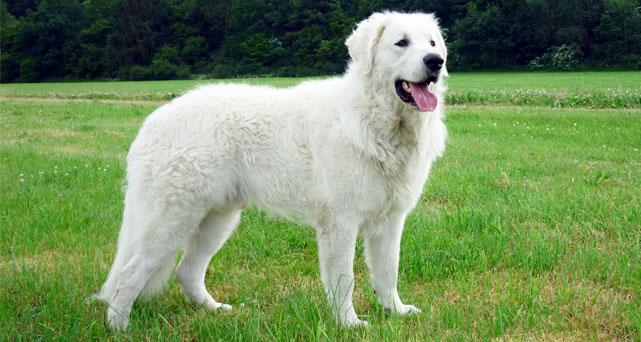 Hungarian Guard Dog Puppy
